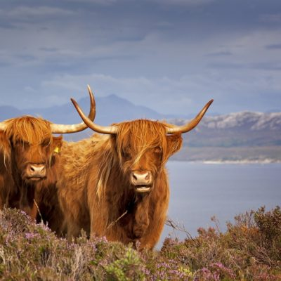 UK staycations 2019. Scottish Cows, Lucre UK